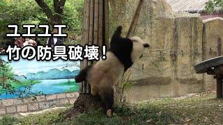 2019/10/27 上海野生動物園にて撮影 11時半頃、ユエユエ(月月・3歳オス...