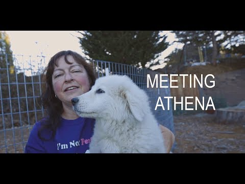 Meeting Athena  Welcoming Our New Maremma Sheepdog Puppy