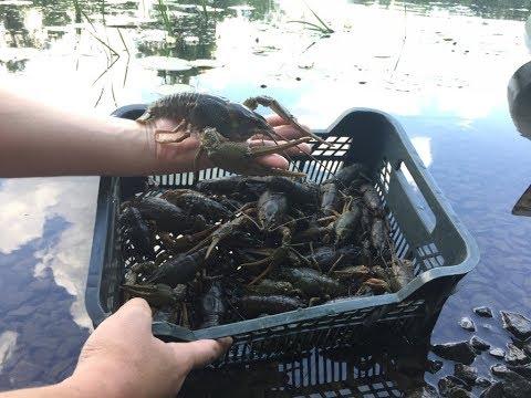 ГДЕ и НА ЧтО Ловить Раков летом. Отличный улов на раколовки. РАКОЛОВКА НА РАКА.