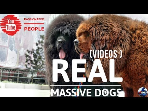 Biggest Dogs : Beast [videos]