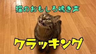猫は人間に気持ちを分かってもらうために鳴き声が発達し、16種類もの鳴...