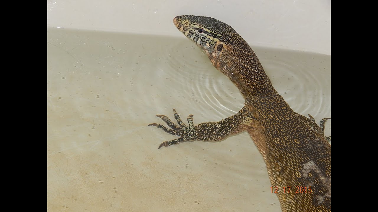 NILE MONITOR LIZARD SWIMMING!! - YouTube