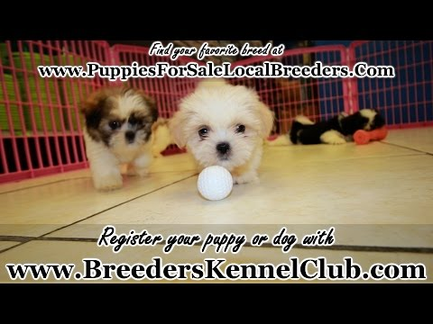 WHITE TEDDY BEAR PUPPIES FOR SALE GEORGIA LOCAL BREEDERS