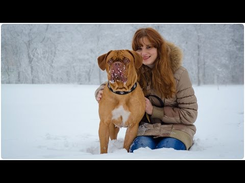 Snowy Weather Wonderful Dogue de Bordeaux Walking in Nylon Collar