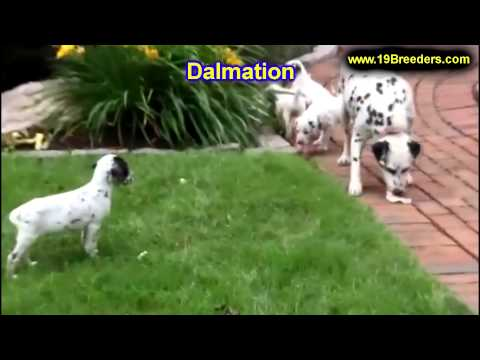 dalmation,-puppies,-for,-sale,-in,-columbus,-ohio,-oh,-north-ridgeville,-mason,-bowling-green,-massi