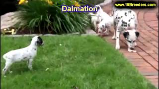 Dalmation, Puppies, For, Sale, In, Columbus, Ohio, Oh, North Ridgeville, Mason, Bowling Green, Massi