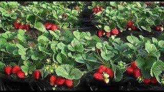 Как правильно посадить клубнику на агроволокно! Лучший способ выращивания клубники!