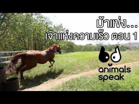 Animals Speak [by Mahidol] ม้าแข่ง...เจ้าแห่งความเร็ว ตอนที่ 1