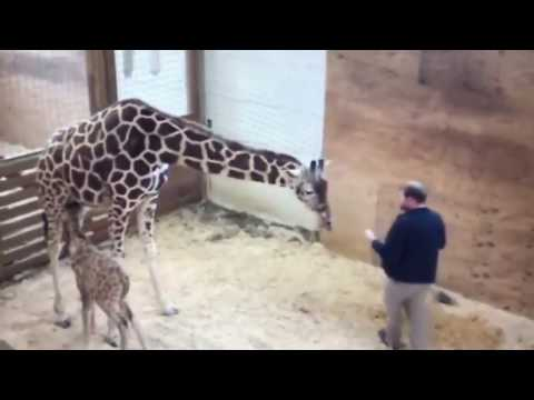 APRIL THE GIRAFFE PROTECTS BABY ||  KICKS VET IN THE NO NO SQUARE