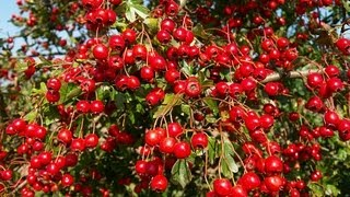 видео Боярышник - полезные свойства и противопоказания ягод, состав, рецепты приготовления