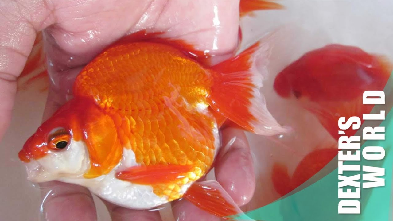 High quality gold fish breeding tips & Feeding methods