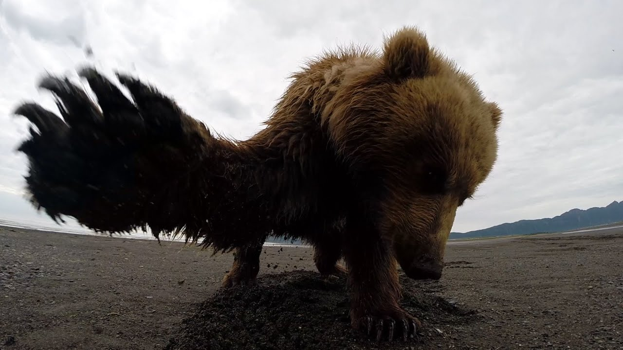 GoPro: Grizzly Bear Slap in Alaska