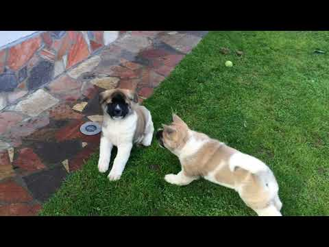American  Akita Inu Puppies mit 8 Wochen kleine Bären