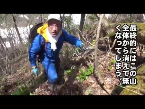 北海道産旬の天然物山菜を直販売するプロの現場!! 行者ニンニク編