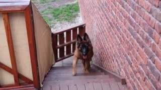 Oly & Zeus (german Shepherd Dogs) Opening Gate To Come Upstairs - Clever!