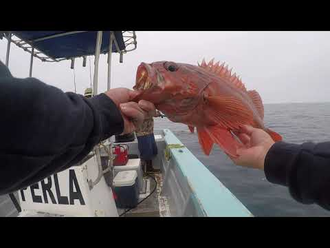 Erendira Baja, Hookup Baits, Lingcod, Rock Fish, Fresh1