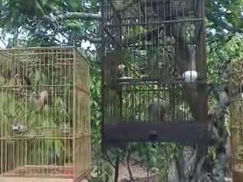 Chim Oc Mit Mua Dep O HueVideo0000
