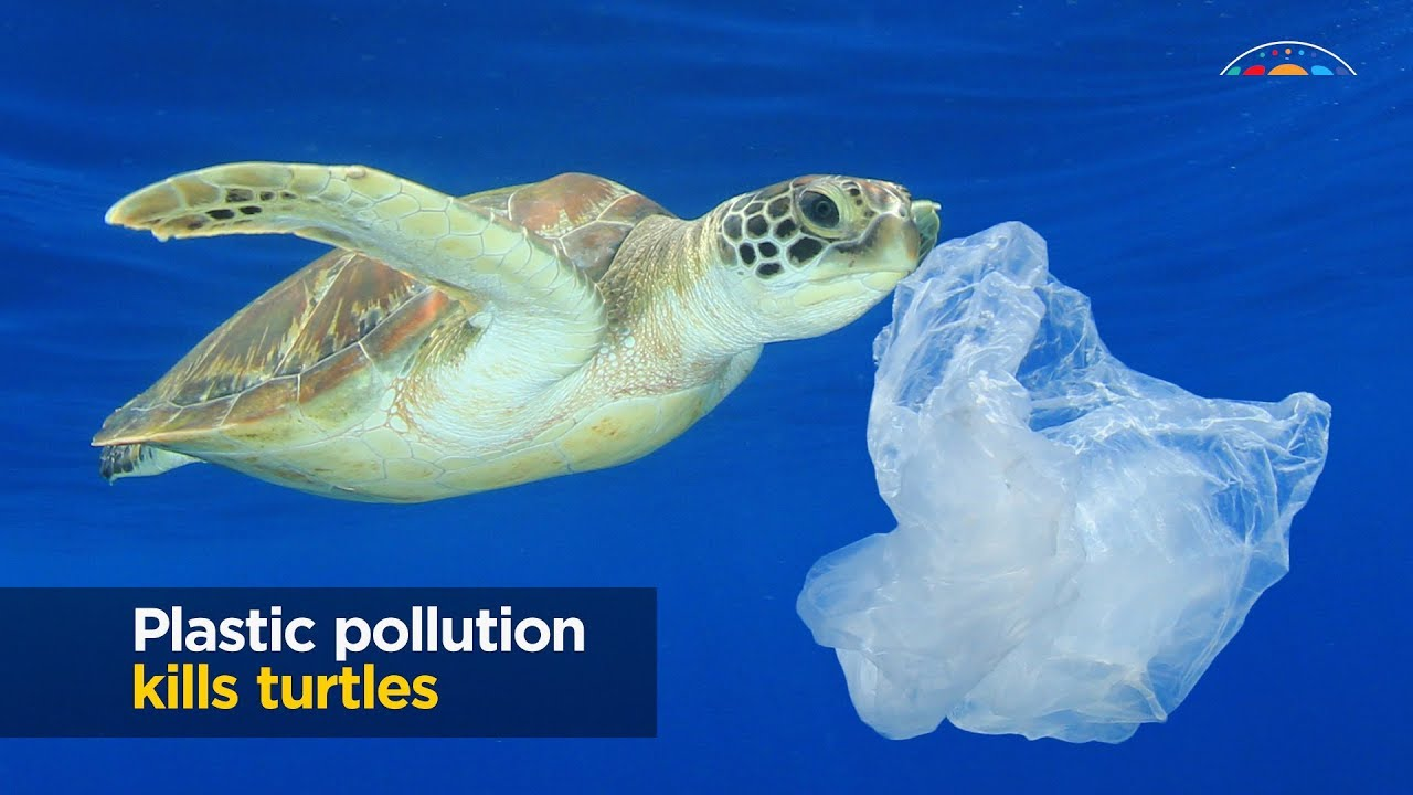 How much plastic does it take to kill a turtle? Typically