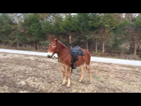 Draft Molly mule for sale. Ride and drive