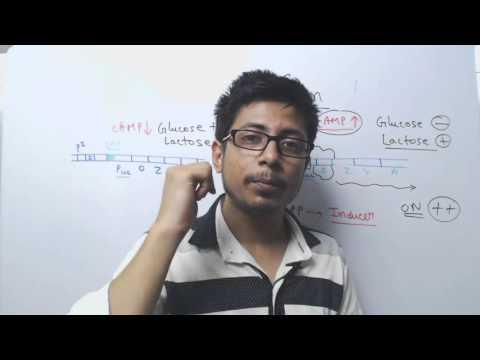 Lac Operon gene Regulation | Glucose, cAMP and CAP