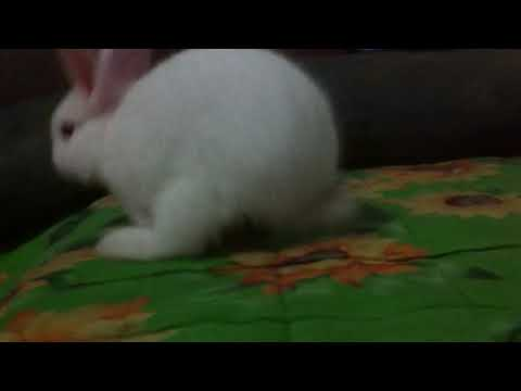 White Rabbit With Red Eye