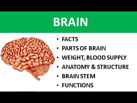 Structure and function brain, anatomy and blood supply of ...