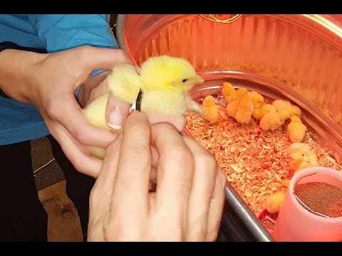 Raising Show Chickens: Wing ID Band Adjustment for 4H & FFA Poultry Hens