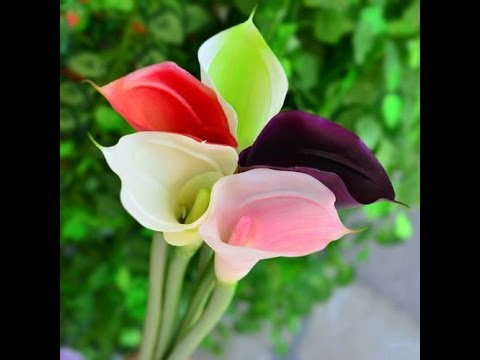 Amazing And Most Beautiful Calla Lily Flowers Images