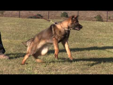 Protection Dog - 4 month old German Shepherd Puppy barking and biting