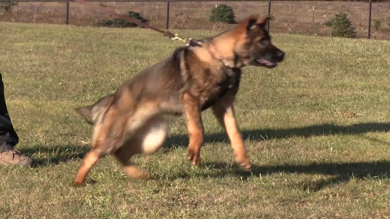 Protection Dog 4 Month Old German Shepherd Puppy Barking And
