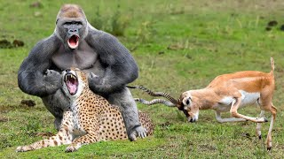Power of Gorilla God! Gorilla Successfully Saved Antelope From Cheetah – Lions, Wild Dogs vs Baboon