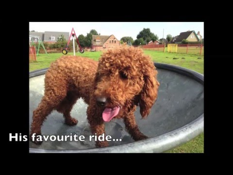 RED FOX MINIATURE POODLE