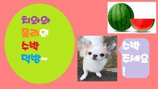 치와와 몰리의 아삭아삭 수박 먹방~