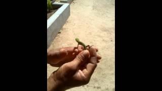 Camaleón fumando