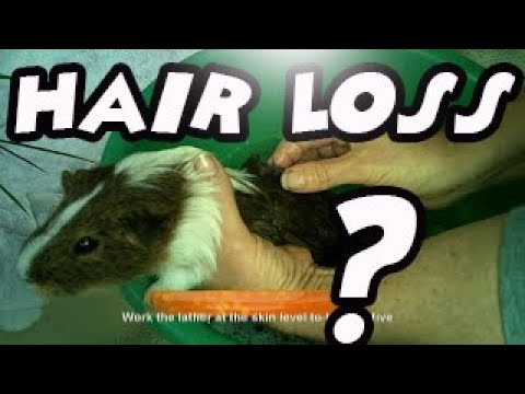 Guinea Pig Hair Loss - How To Identify And Treat Fungal And Mite Mange