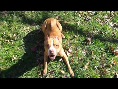 Amhursh K9 LLC Dog Trainer Germantown MD