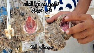 طيور عجيبه غريبه تشبه الحجر في العراق