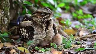 Large-Tailed Nightjar w/2 chicks-Singapore.