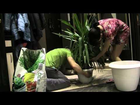 Юкка. Комнатное растение юкка - уход, размножение, белозни