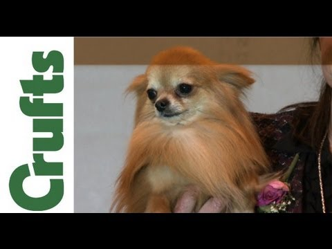 Crufts 2012 - Chihuahua (Long Coat) Best of Breed