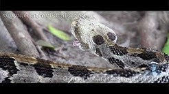 Rattlesnake Feeding 02 Footage