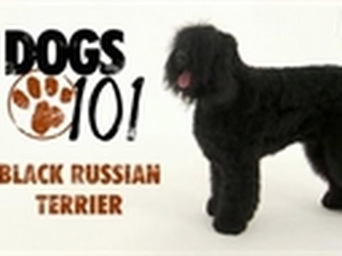 Dogs 101 - Black Russian Terrier