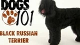 Dogs 101 - Black Russian Terrier