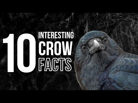 10 Odd and Interesting Facts About Crows and Ravens North America