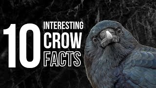 10 Odd and Interesting Facts About Crows and Ravens (North America) thumbnail