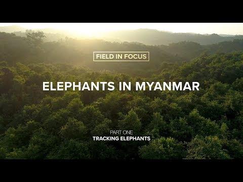 FIELD IN FOCUS   Elephants in Myanmar: Tracking Elephants