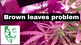Weed grow brown leaves problem