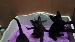Бурманские и бомбейские котята. Фандорин х Оторва