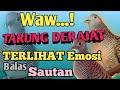 Suara Perkutut Lokal Jenis Sari Jenis Mantai Crosingan Tarung Drajat Pancingan Ajib Nih  Mp3 - Mp4 Download