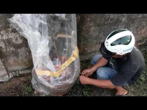 Tiến hành ủ bọc cứu cây mai vàng bị suy nặng